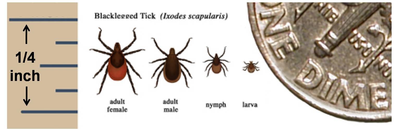 Deer_tick_Ixodes_scapularis.jpg