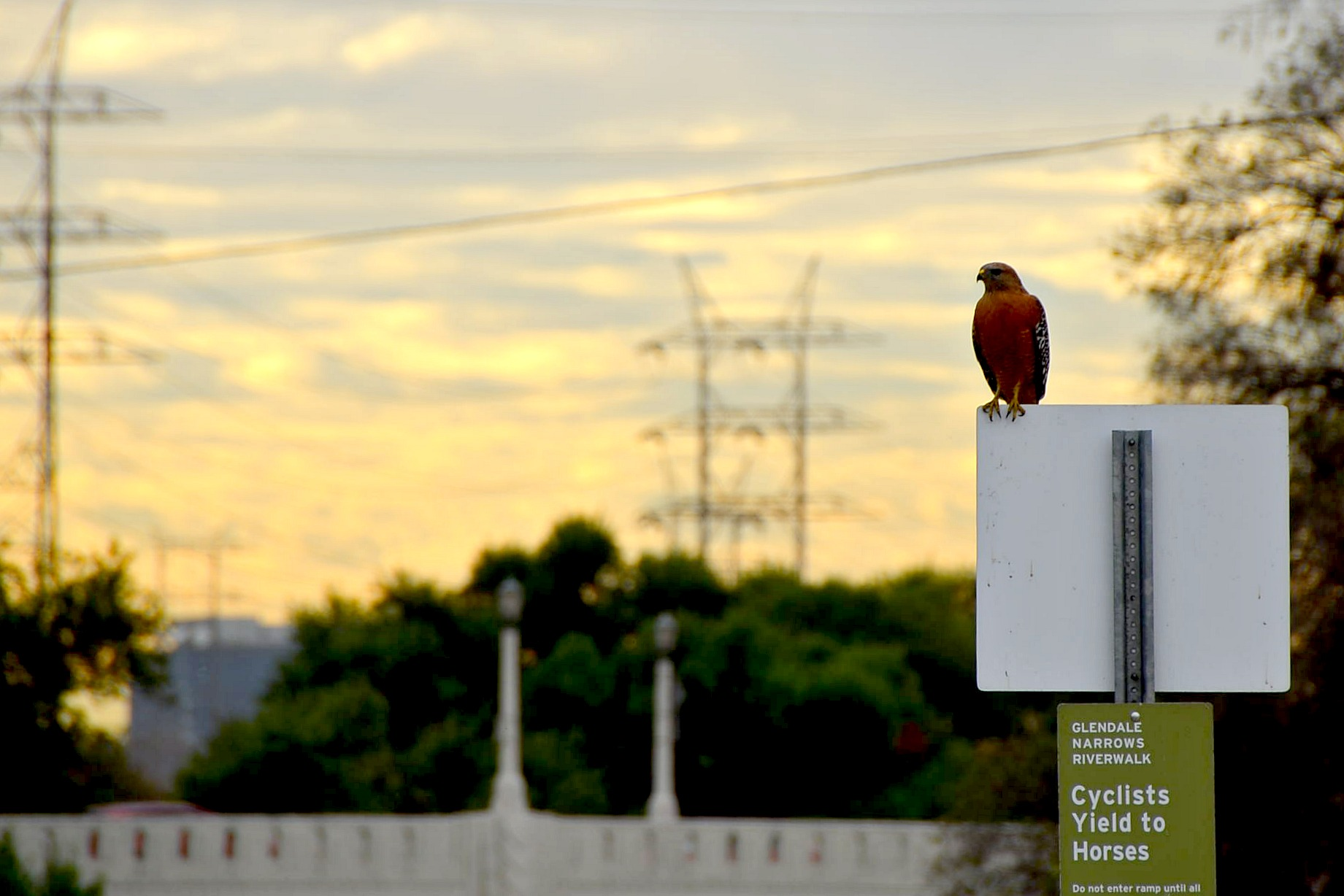 Let's go with red-shouldered hawk