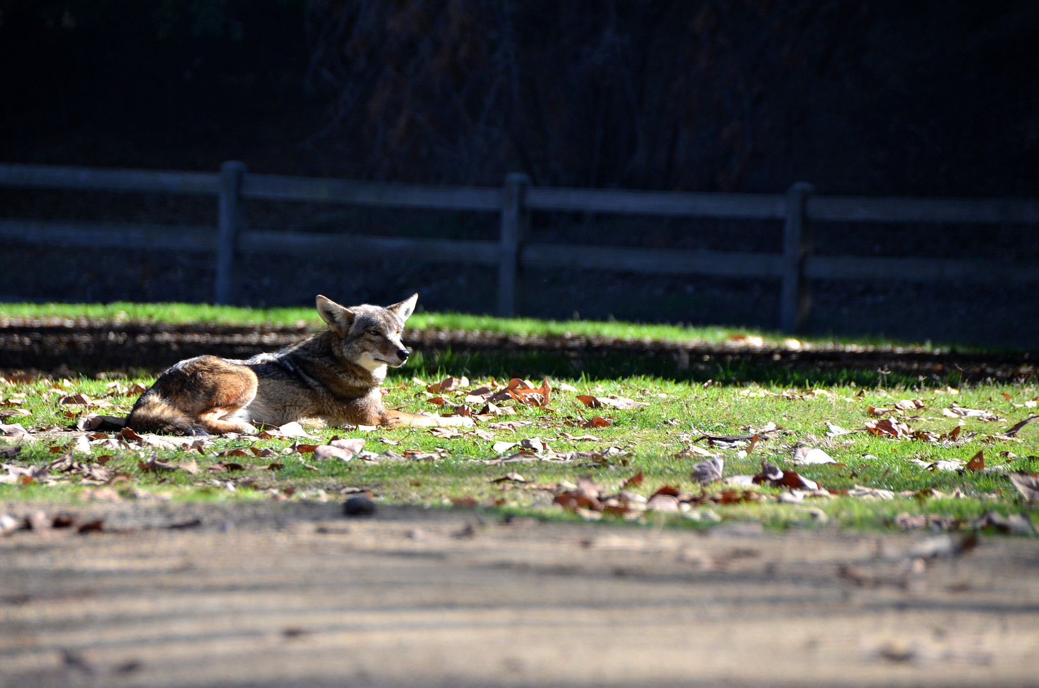This coyote is friendly. But don't feed her. And really don't feed her your off-leash dog.