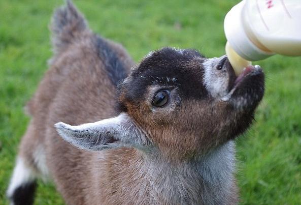 What's Goat's Milk? -
