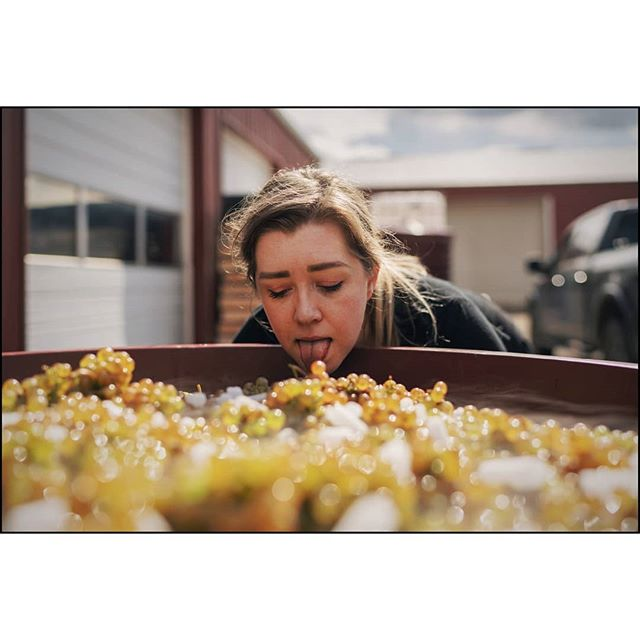 We are 1% in the door. Harvest is rad. Beautiful Auxerrois delivered by grower Luci. Super stoked. Yeahyeahyeah. Carbo Aux!