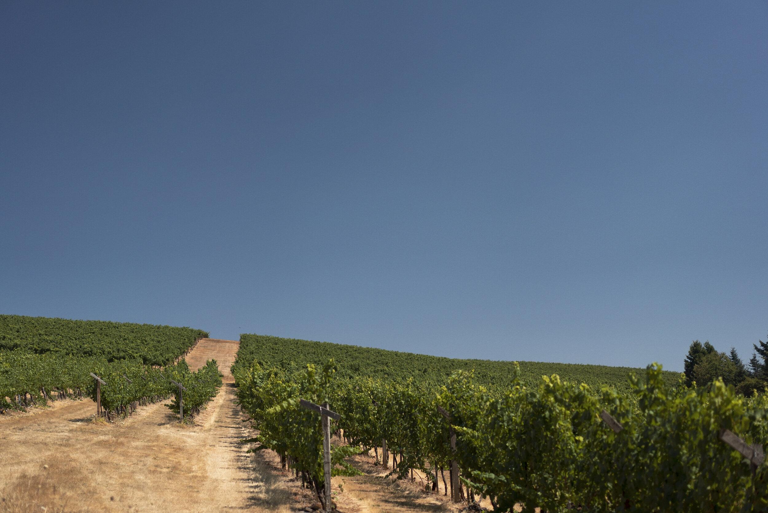 Sunnyside Vineyard in July.jpg