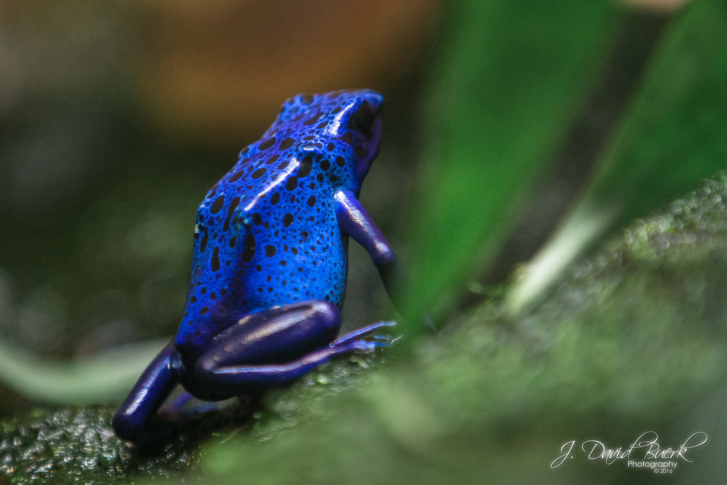 A blue poison dart frog photographed at the Smithsonian National Zoological Park in Washington, DC.