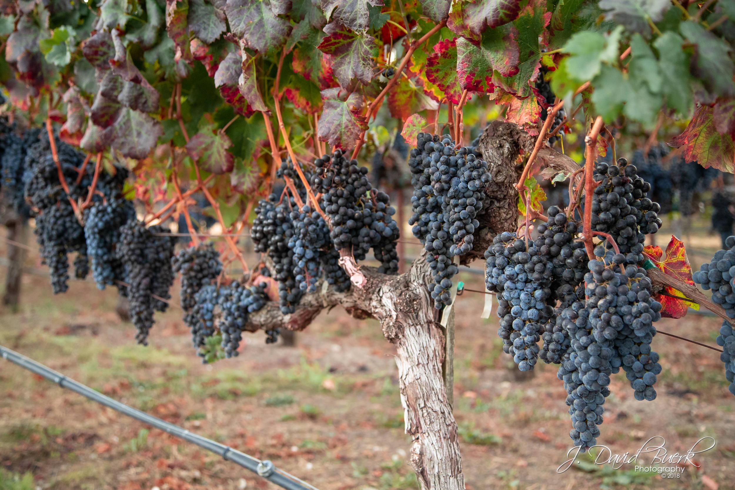 Cabernet Franc grapes on the vine in Napa, California.