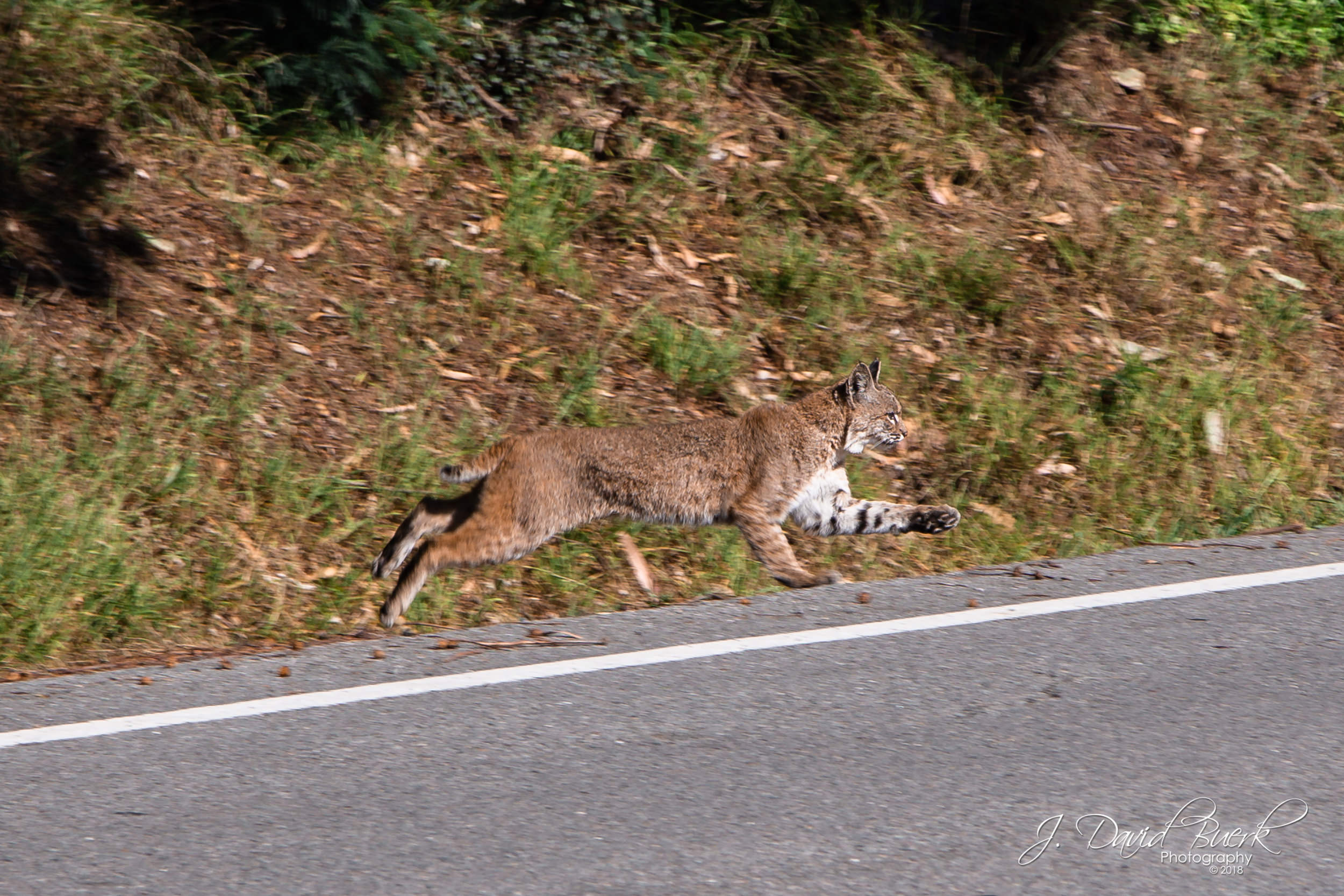 A bobcat crosses a road atop the Panoramic peak above Muir Woods, Mill Valley, California.