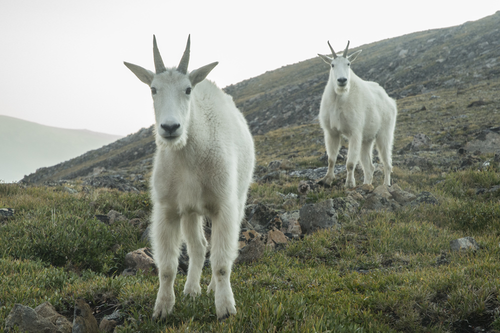 Up close and personal with some mountain goats. Aren't they adorable?
