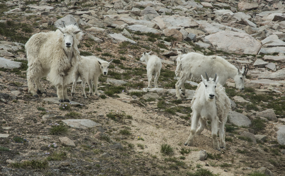 More mountain goats at high camp