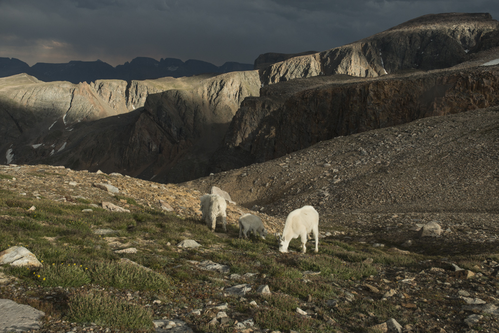 Mountain goats at high camp