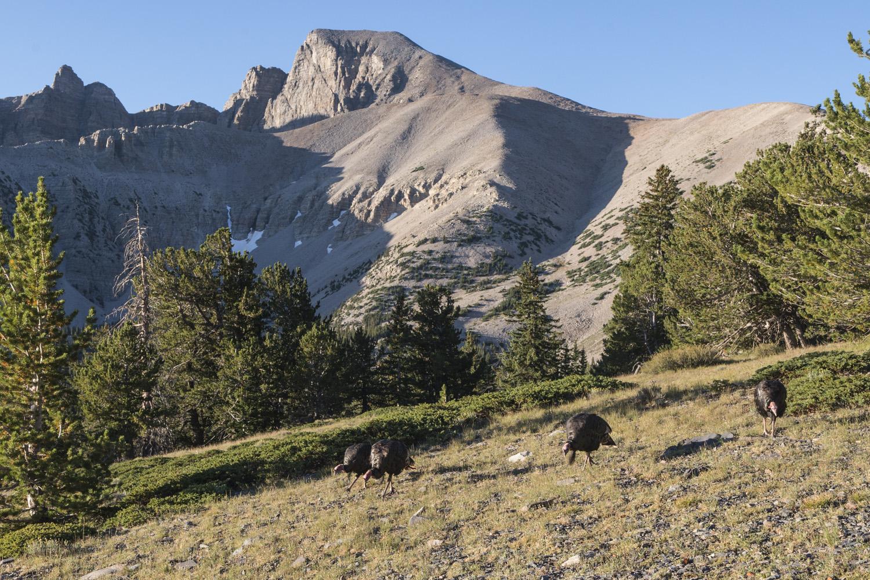 Wild turkeys on the trail to Wheeler Peak.