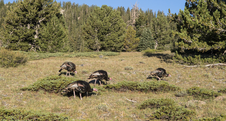 Turkeys near Stella Lake