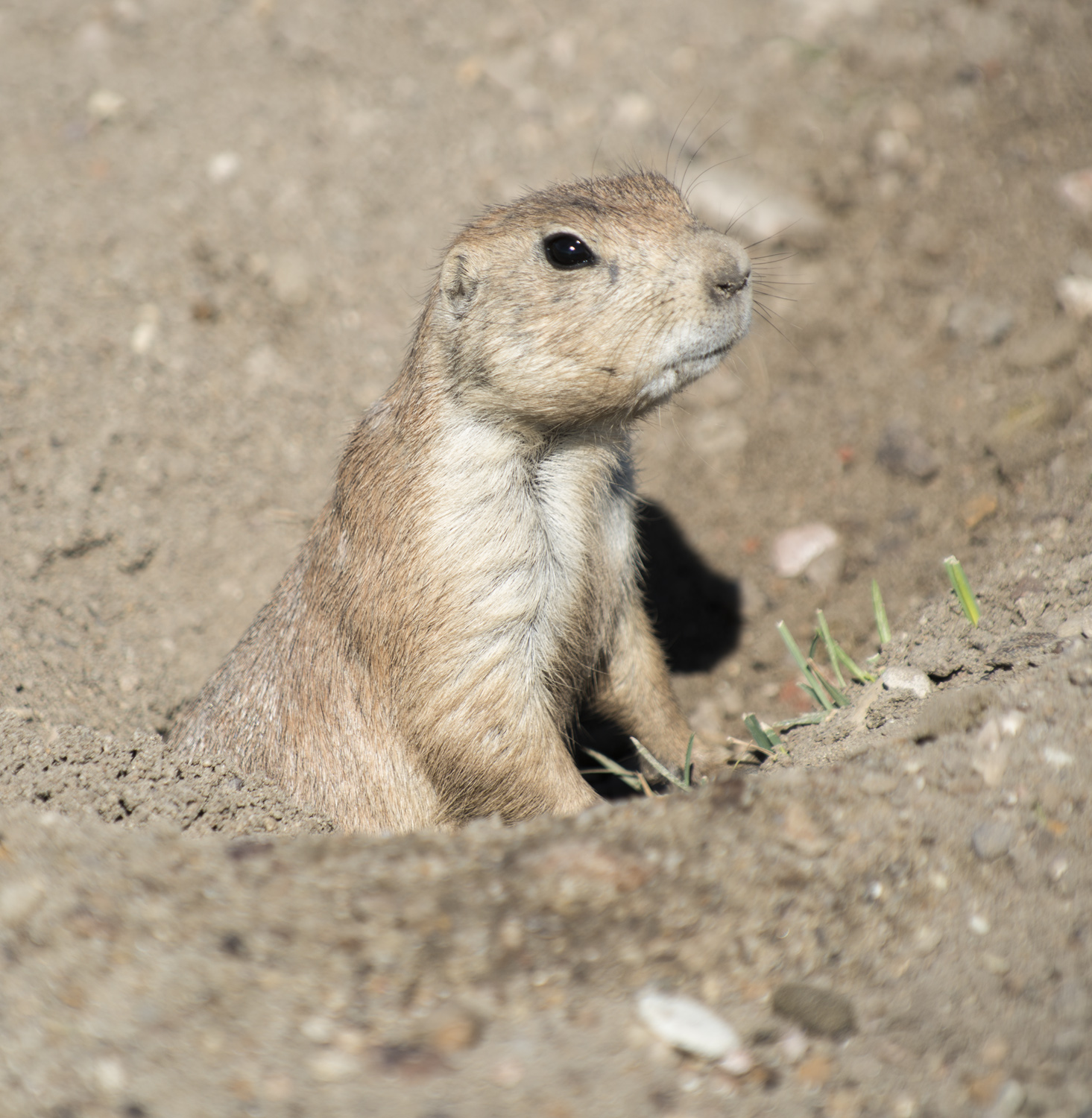 One of the many prairie dogs on Big Plateau.