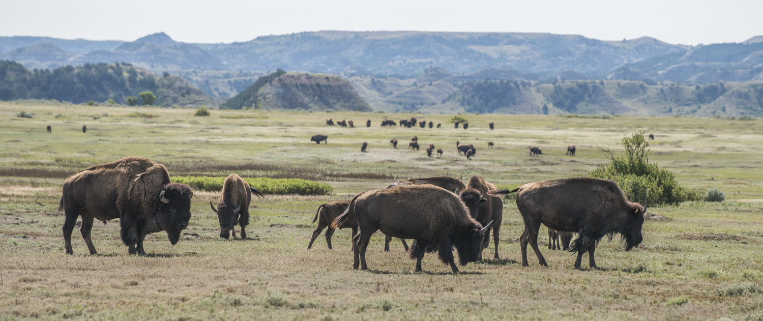 Looking back at the two bison herds on Big Plateau.