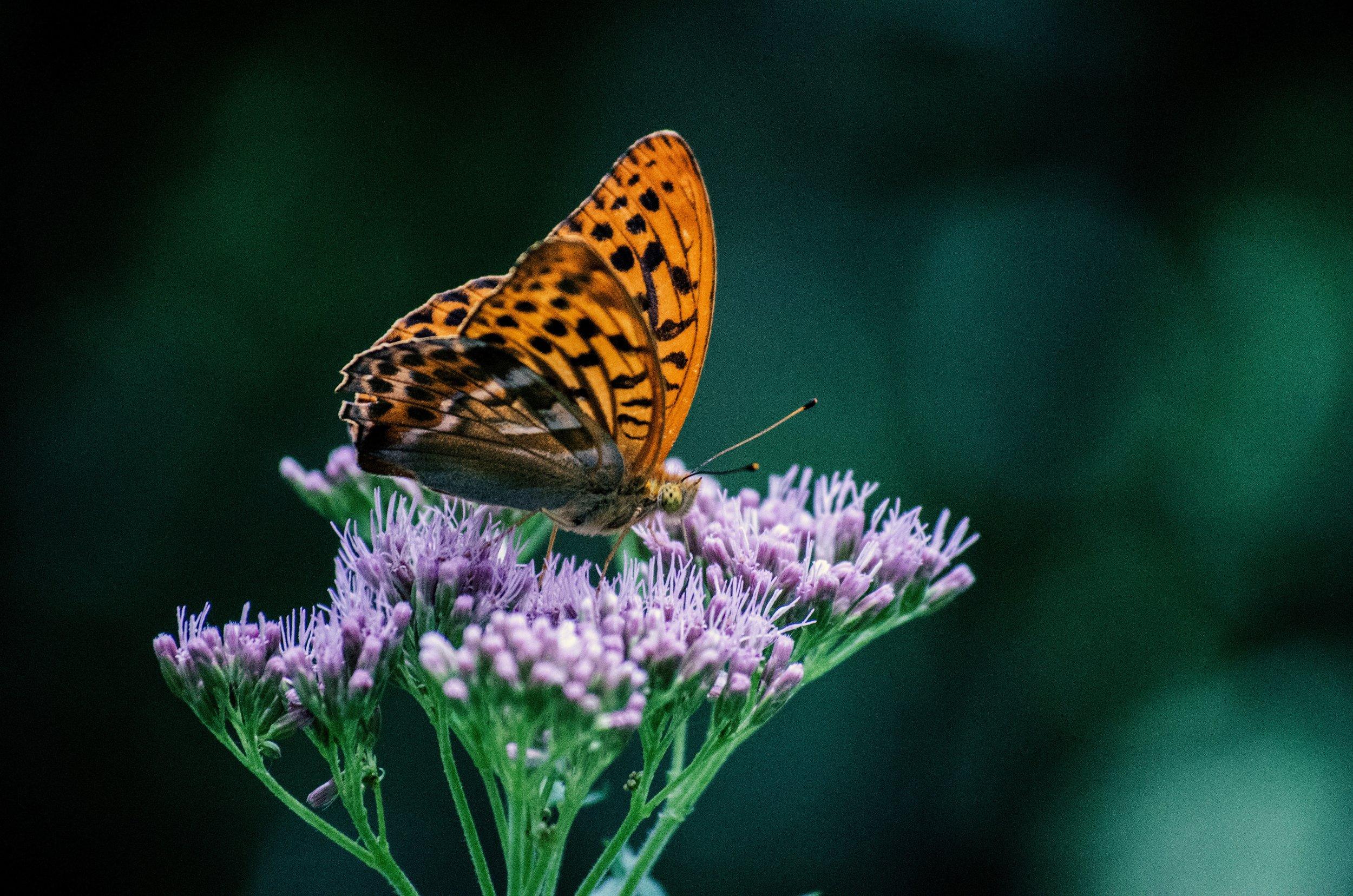 butterfly purple flower 2.jpg
