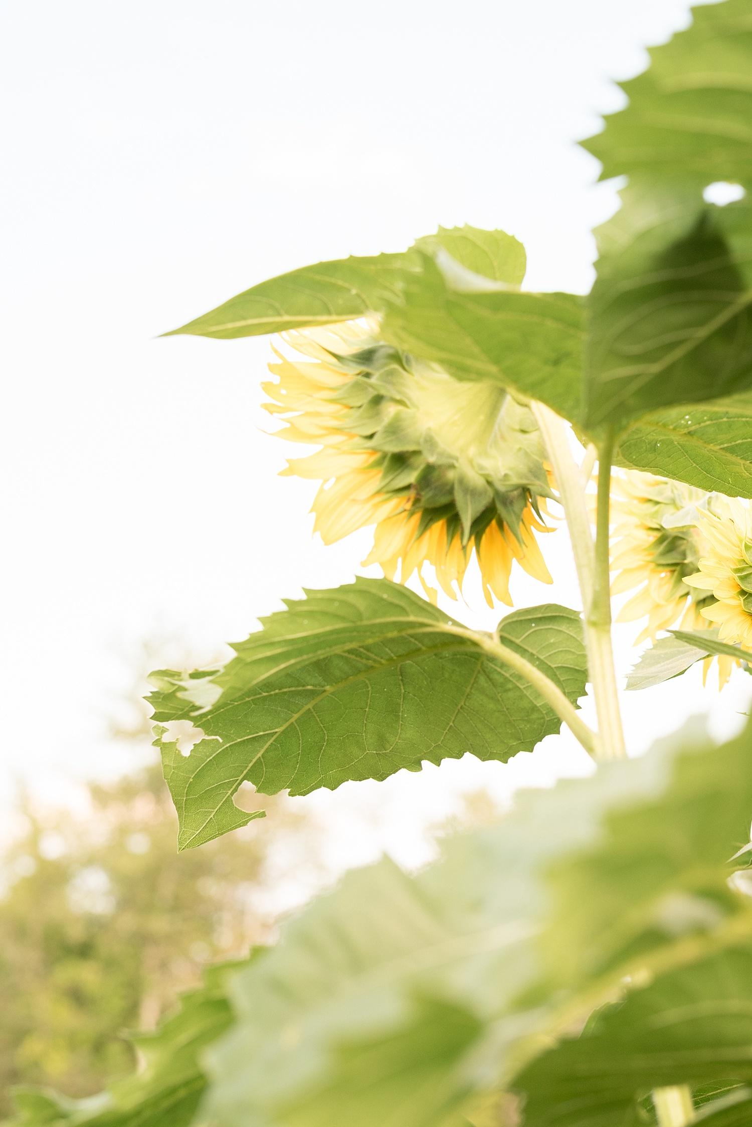 Romantic engagement session in sunflower field lancaster pa wedding photographer photo_0001.jpg