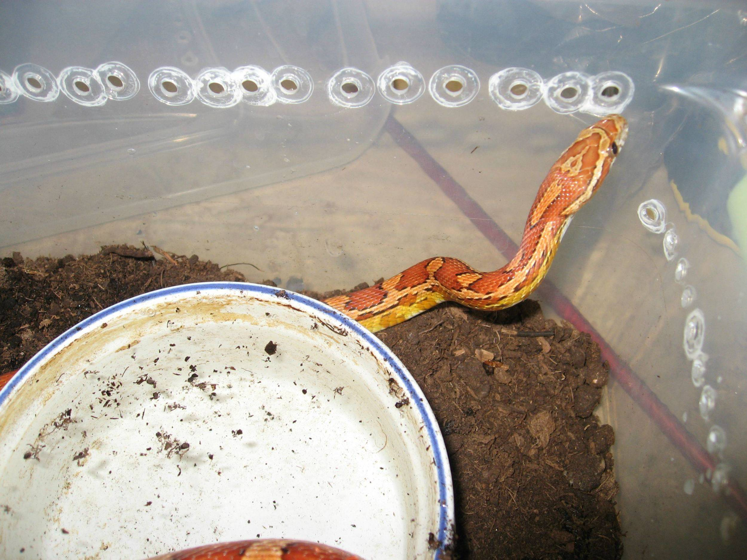 10 - corn snake.jpg