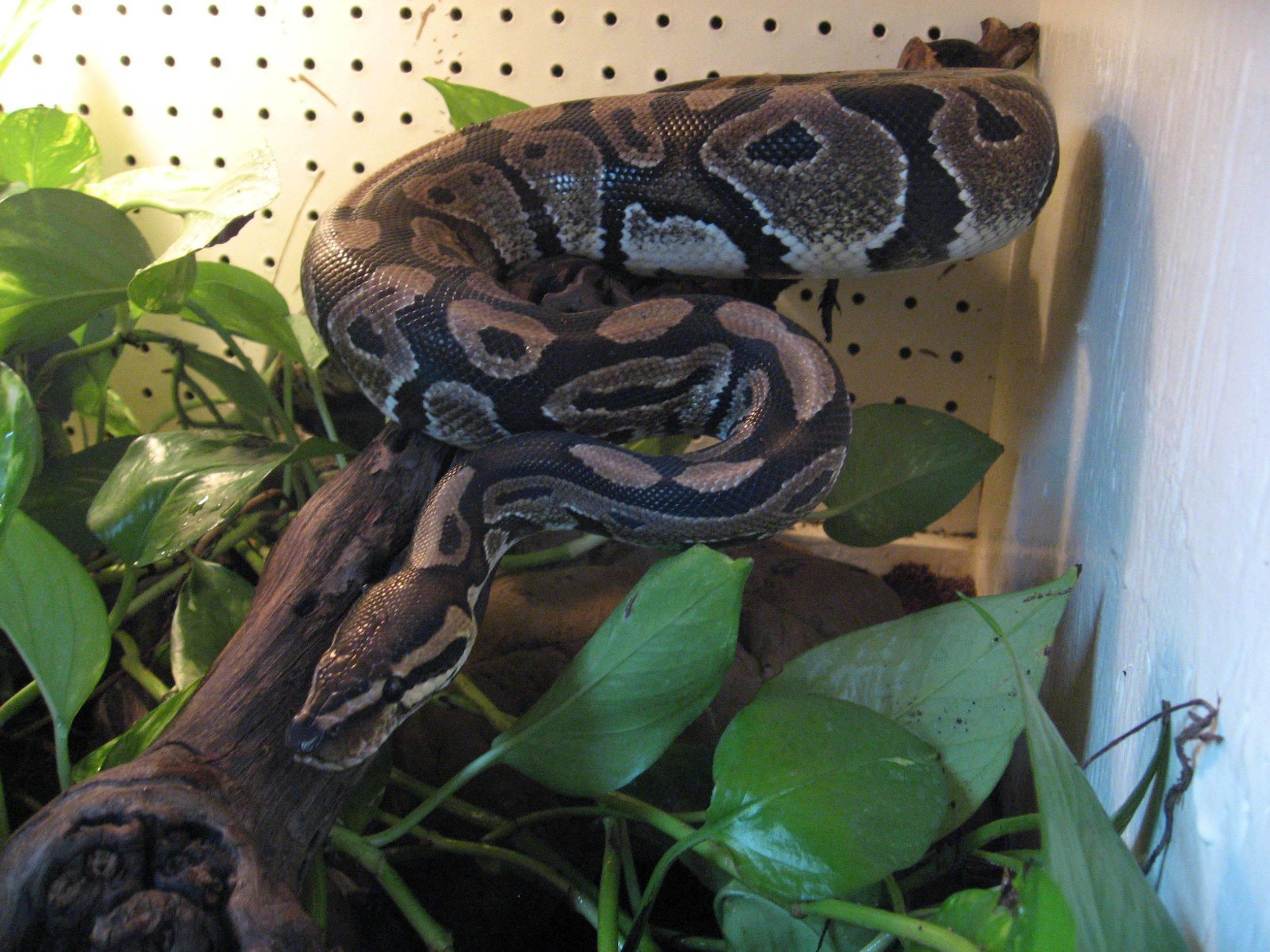 24 - ball python.jpg
