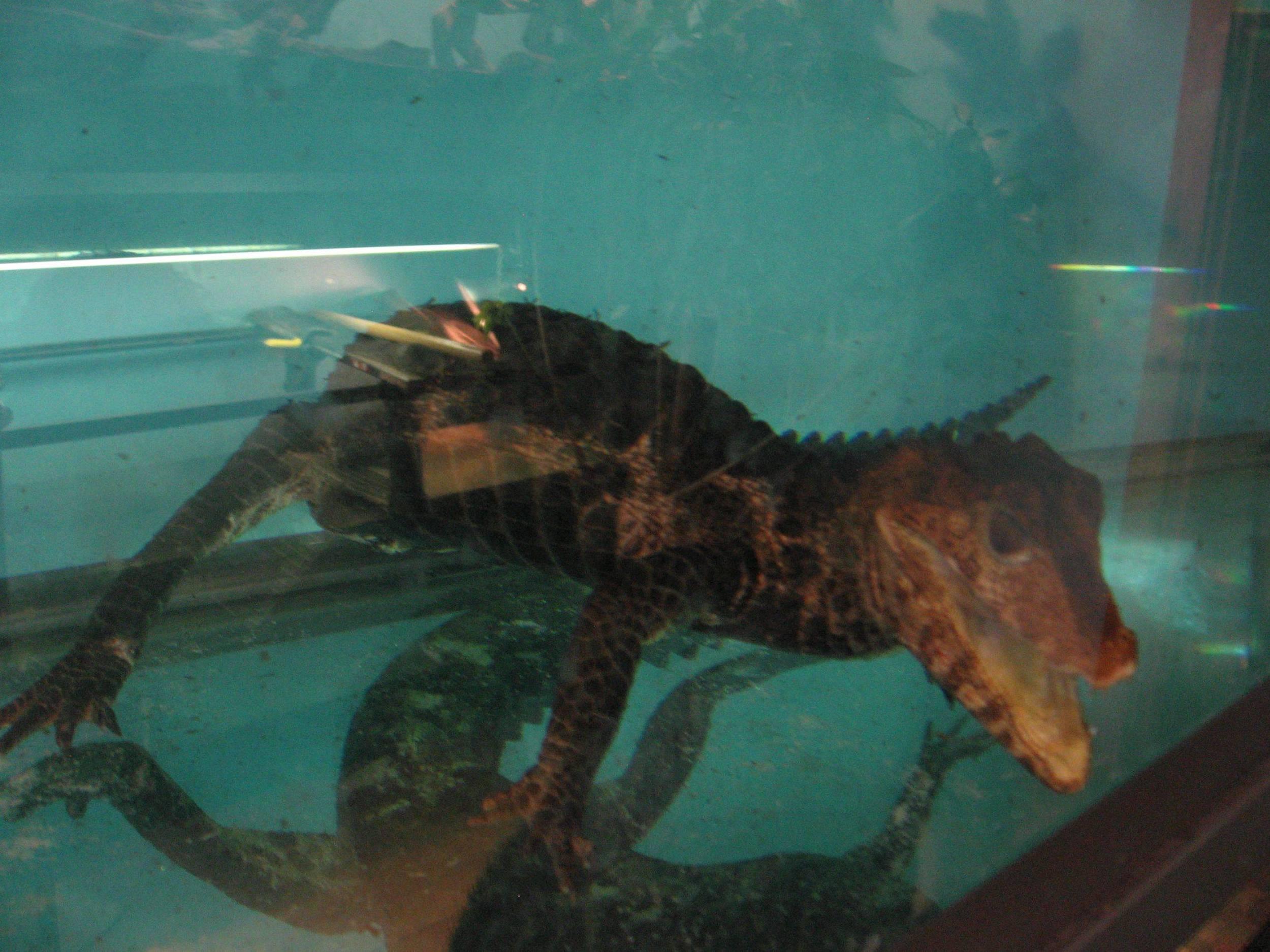 36 - Paleosuchus palpebrosus.jpg