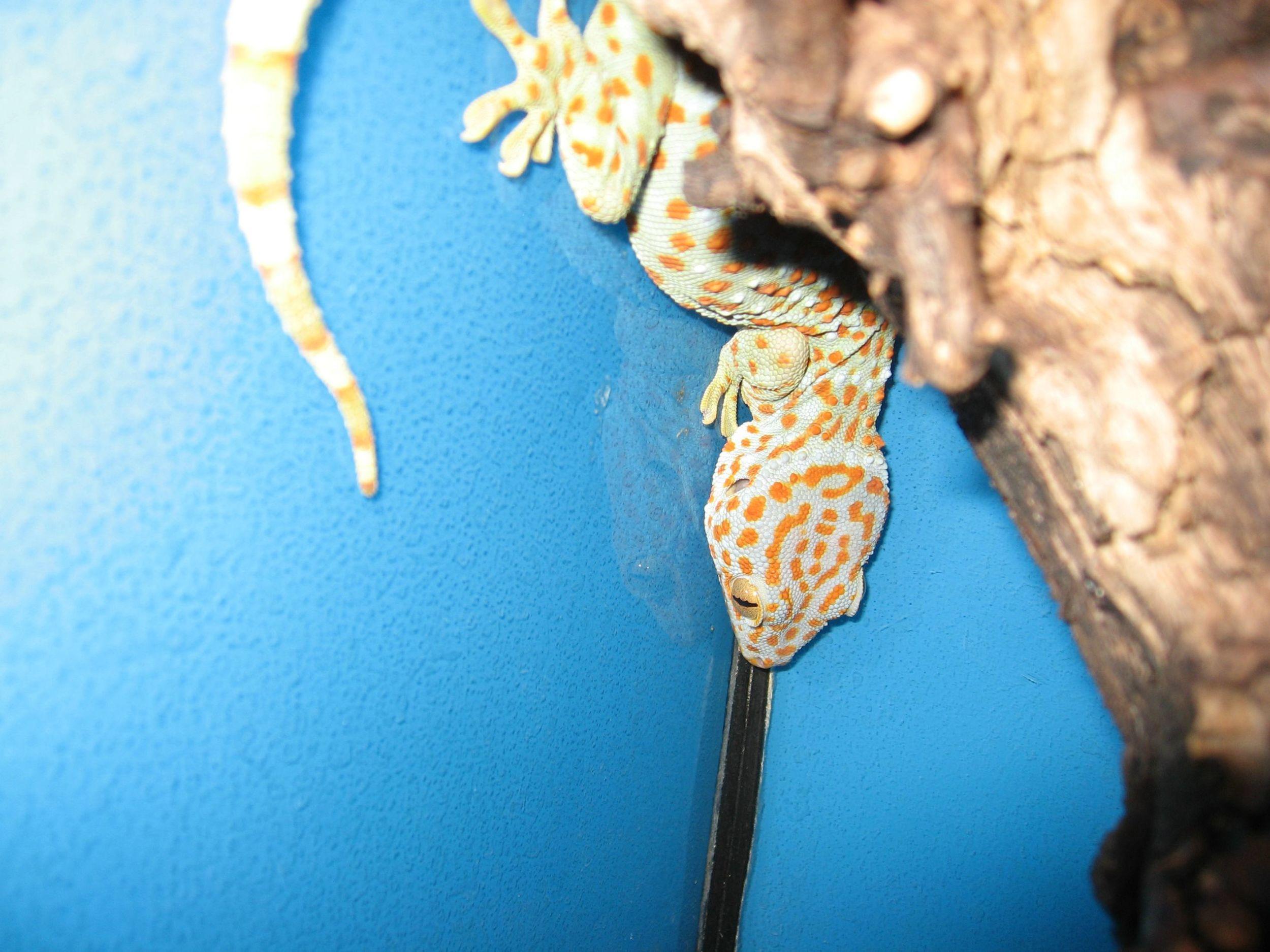 39 - tokay gecko.jpg