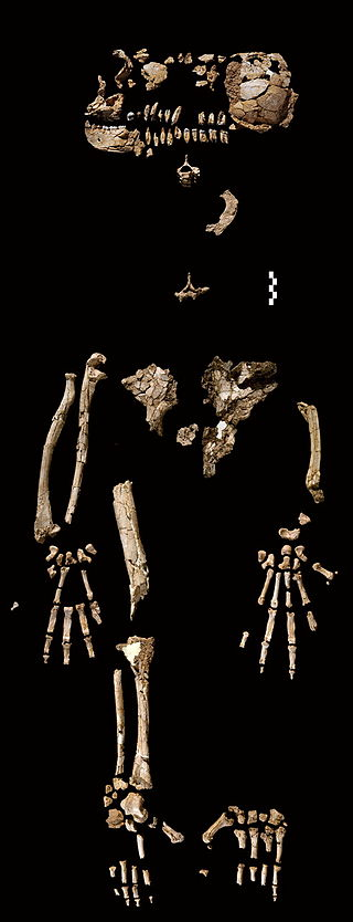 The Ardipithecus Ramidus (ARA-VP-6/500) skeleton. This composite image shows the approximate placement of the fossils recovered. Source:  http://www.sciencemag.org/cgi/content/full/326/5949/64/F3