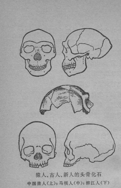 "Fossils of skulls of ape (猿人), ancient human (古人), modern human(新人): Top is Peking Man; middle ""Maba Man""; bottom is ""LiuJiang Man"""