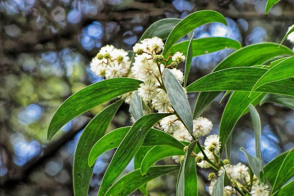 Acacia melanoxylon-rq-20120305-1k.jpg