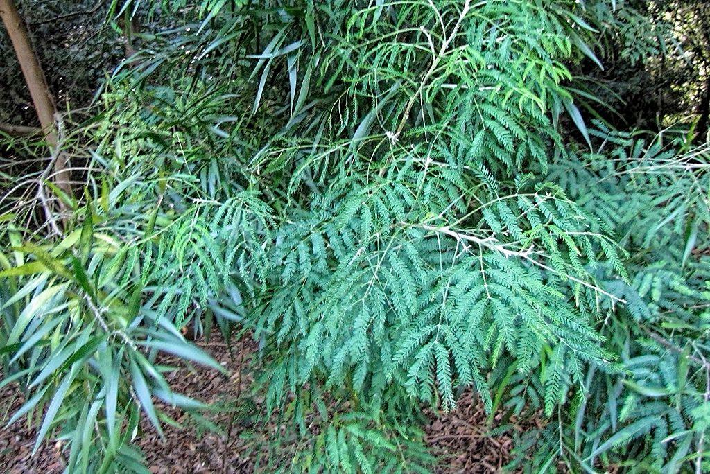 Acacia melanoxylon-rq-20130914-1b.jpg