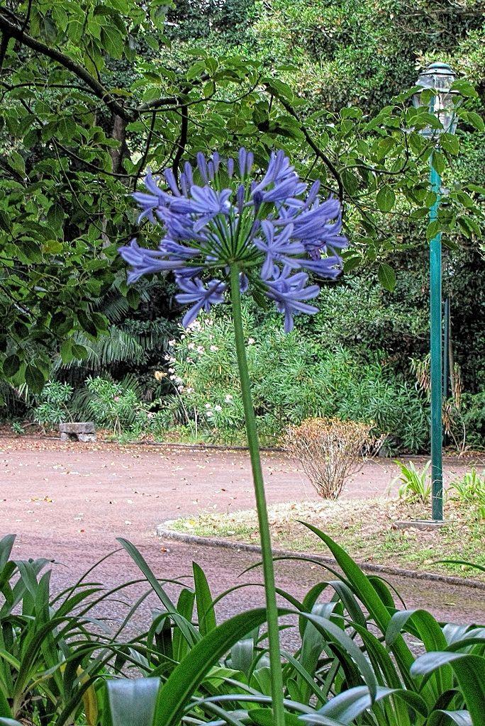 Agapanthus praecox subsp orientalis-rq-20130914-1a.jpg