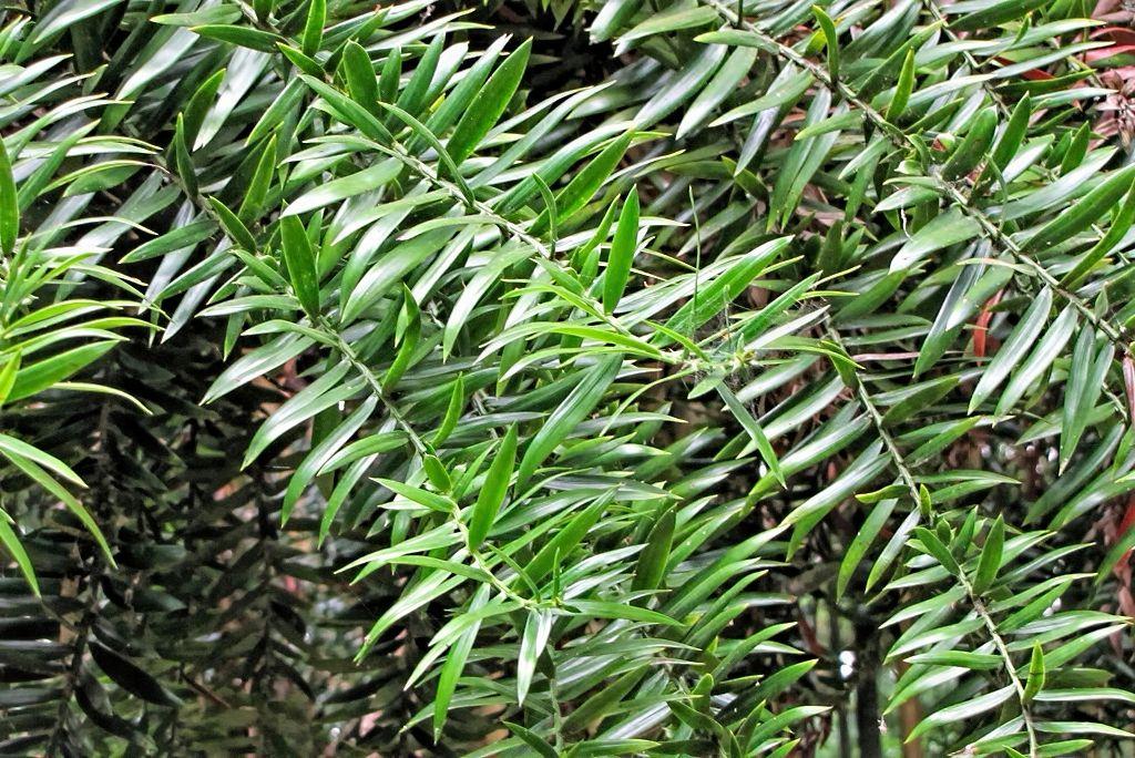 Araucaria bidwillii-rq-20130915-3a.jpg