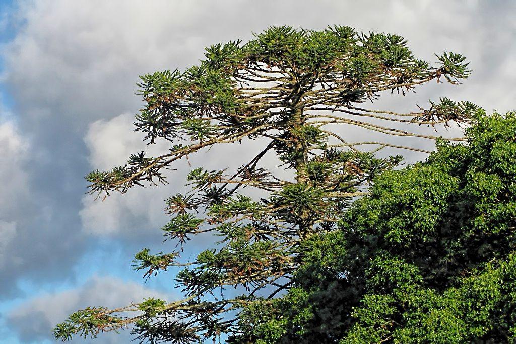 Araucaria bidwillii-rq-20130914-1q.jpg