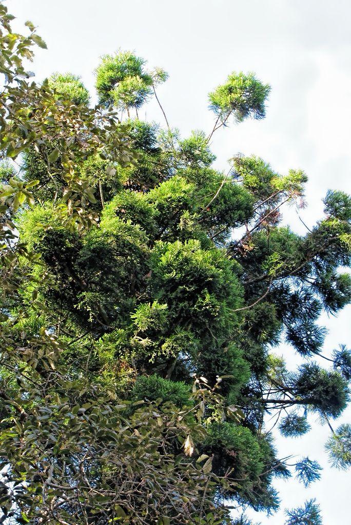Araucaria cunninghamii-rq-20140113-1b.jpg