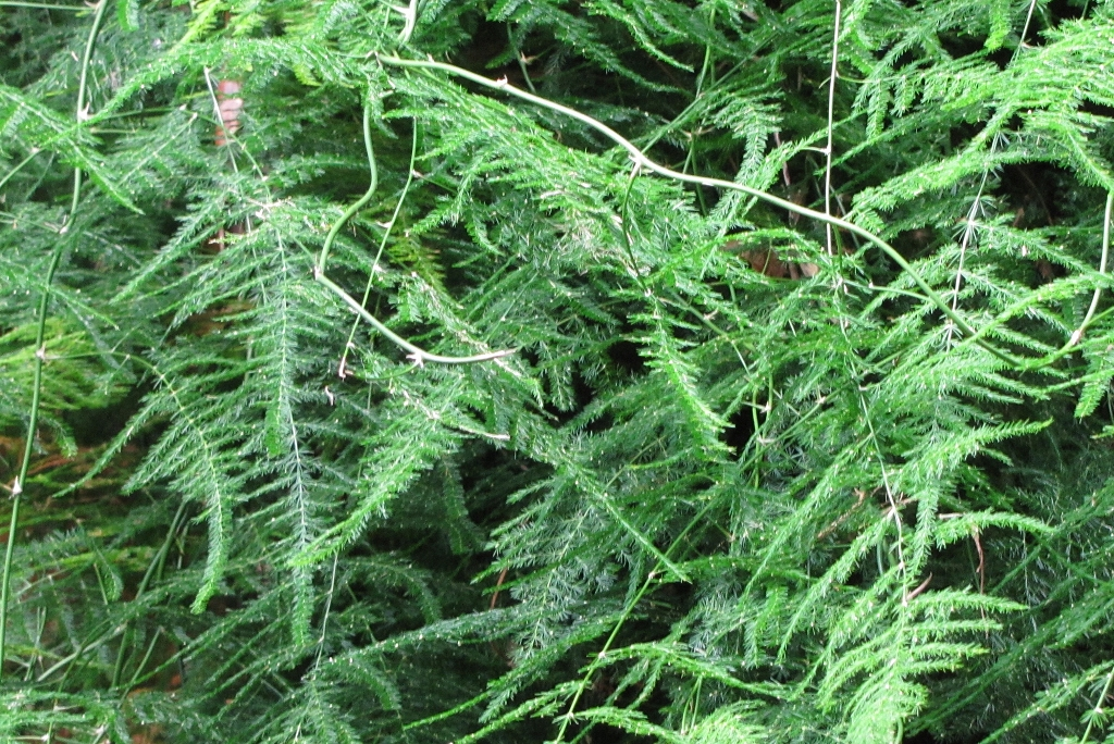 Asparagus setaceus-rq-20130914-1b.jpg