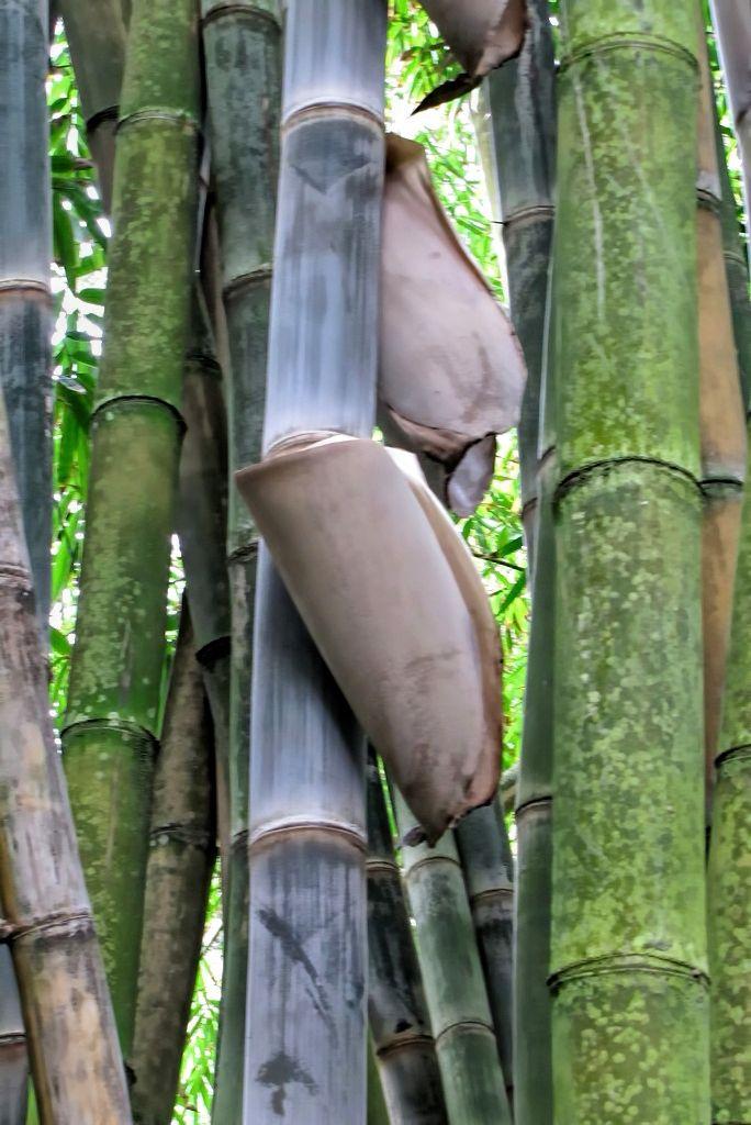 Bambusa arundinacea-rq-20140109-1j.jpg