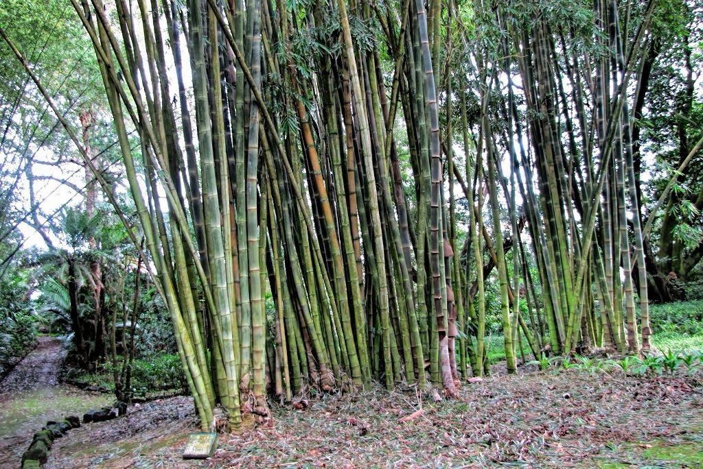 Bambusa arundinacea-rq-20140109-1p.jpg