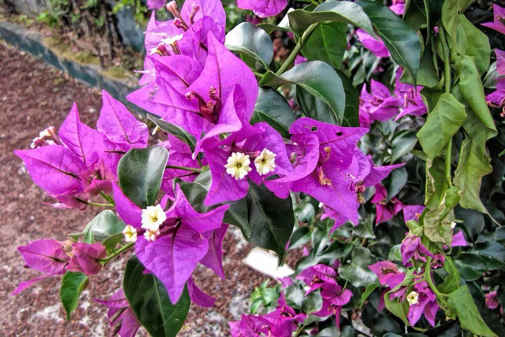 Bougainvillea glabra-rq-20130915-1m.jpg