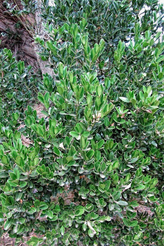 Buxus sempervirens-rq-20130914-1d.jpg