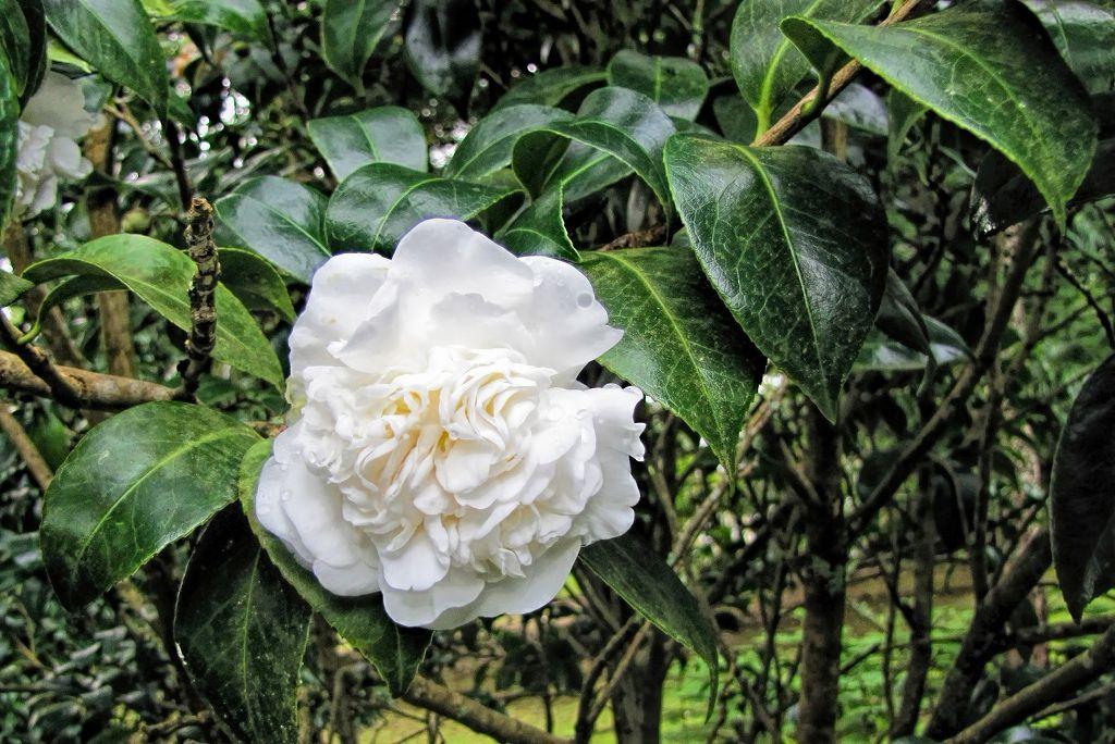 Camellia japonica-rq-20140110-2f.jpg