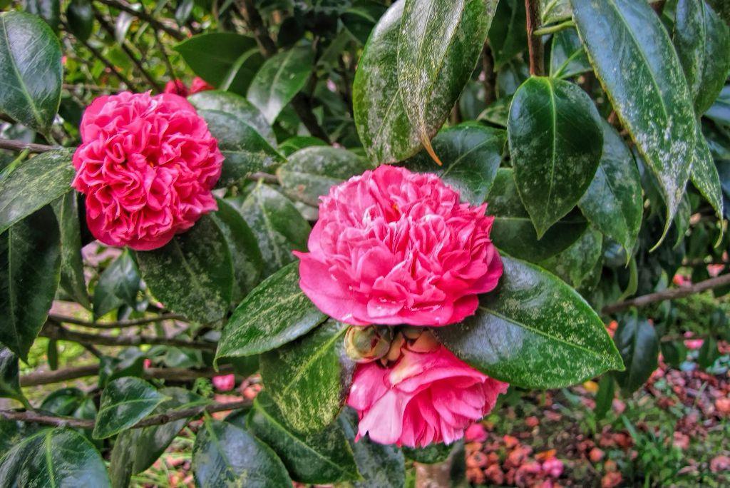 Camellia japonica-rq-20140109-1k.jpg