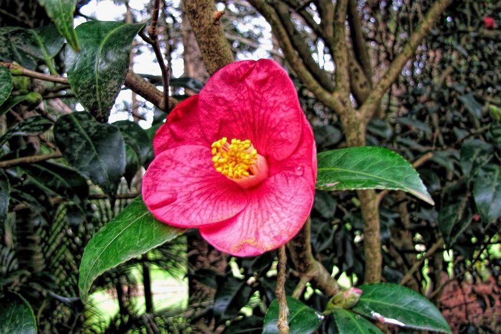 Camellia japonica-rq-20140109-1c.jpg