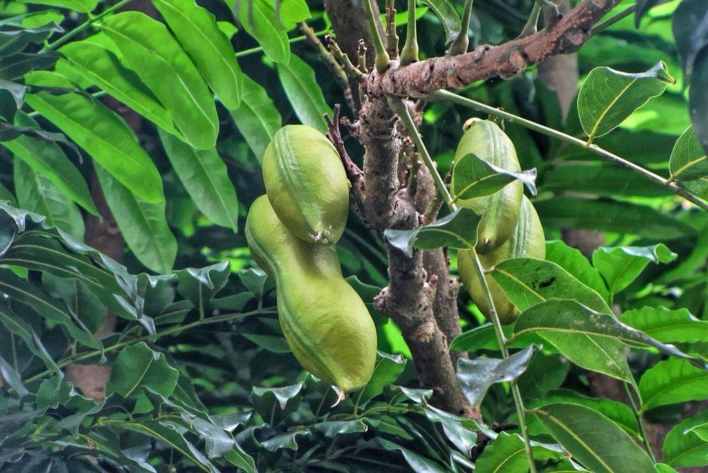 Castanospermum australe-rq-20130914-2b.jpg