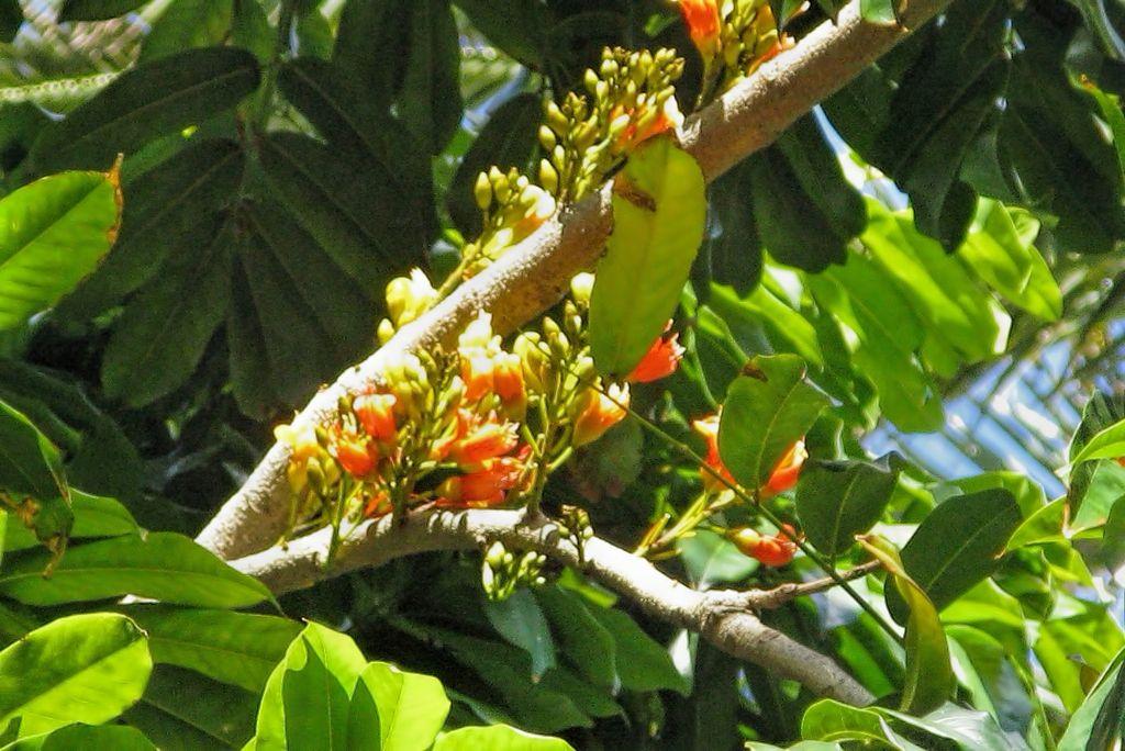 Castanospermum australe-rq-20090616-1g.jpg