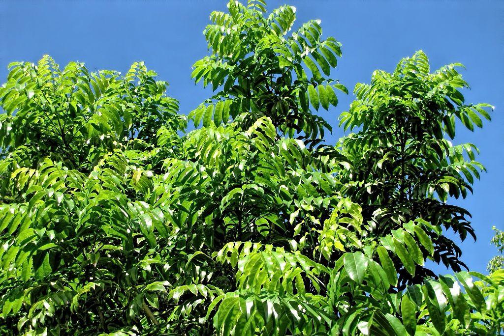 Castanospermum australe-rq-20130914-2m.jpg