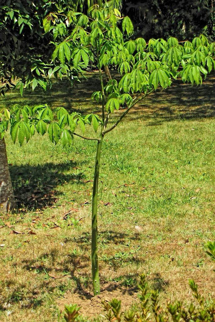 Chorisia speciosa-rq-20130914-1a.jpg