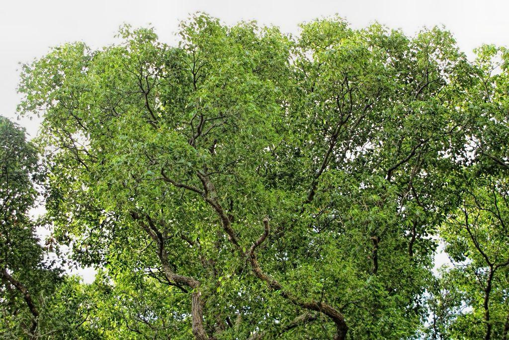 Cinnamomum camphora-rq-20130915-1a.jpg
