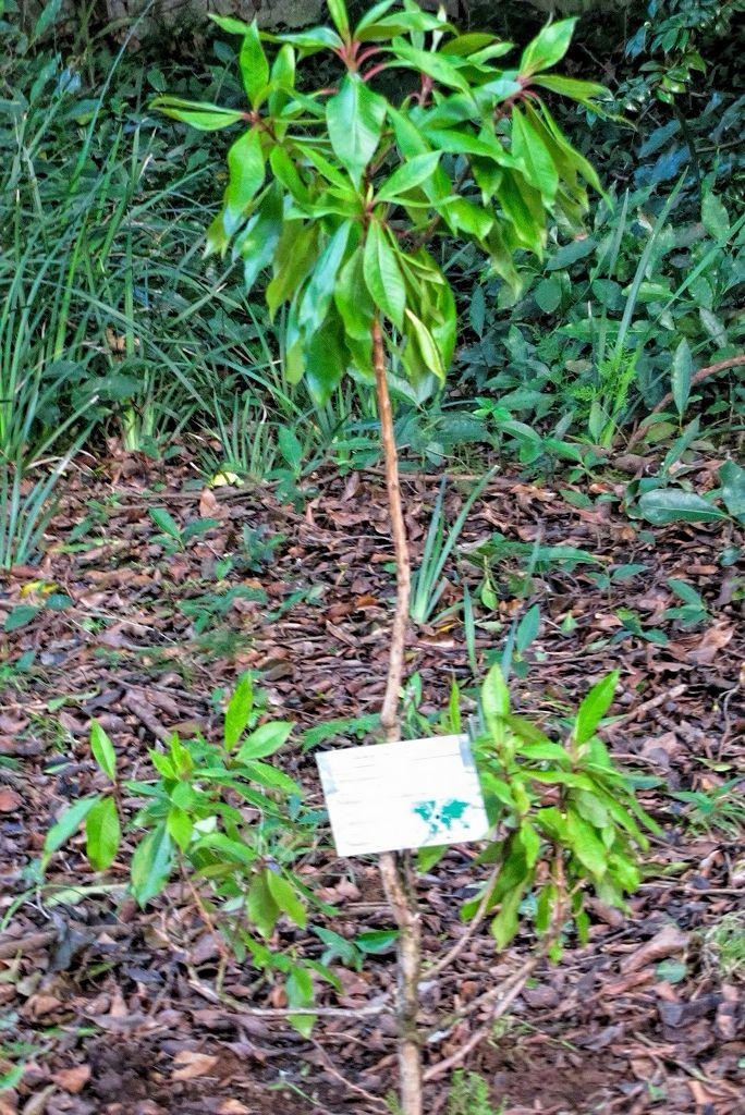 Clethra arborea-rq-20140111-1b.jpg