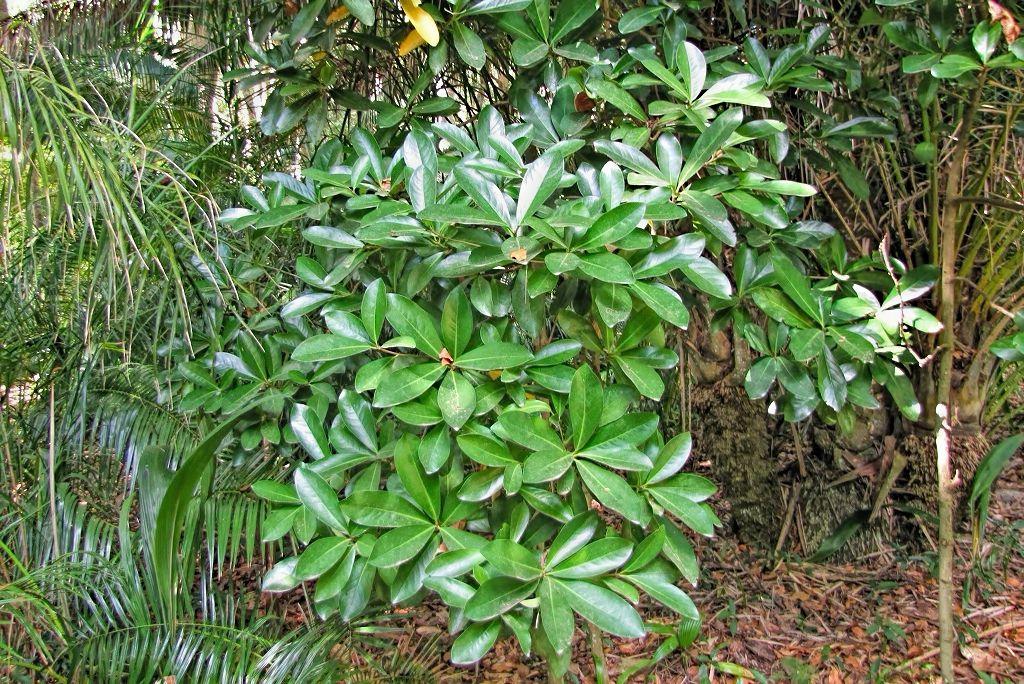 Corynocarpus laevigatus-20130914-1j.jpg