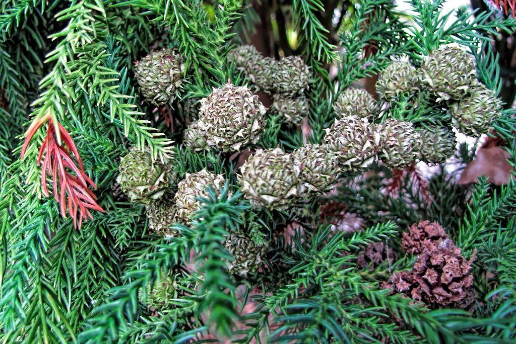 Cryptomeria japonica-rq-20130915-1s.jpg