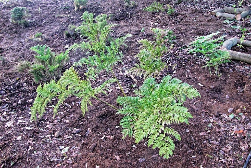 Culcita macrocarpa-rq-20140110-1b.jpg