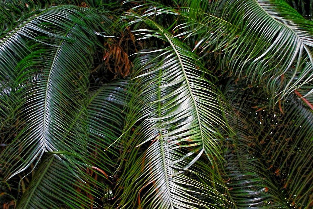 Cycas circinalis-rq-20120915-1e.jpg