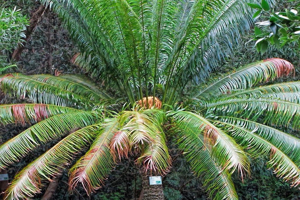 Cycas circinalis-rq-20140113-1b.jpg