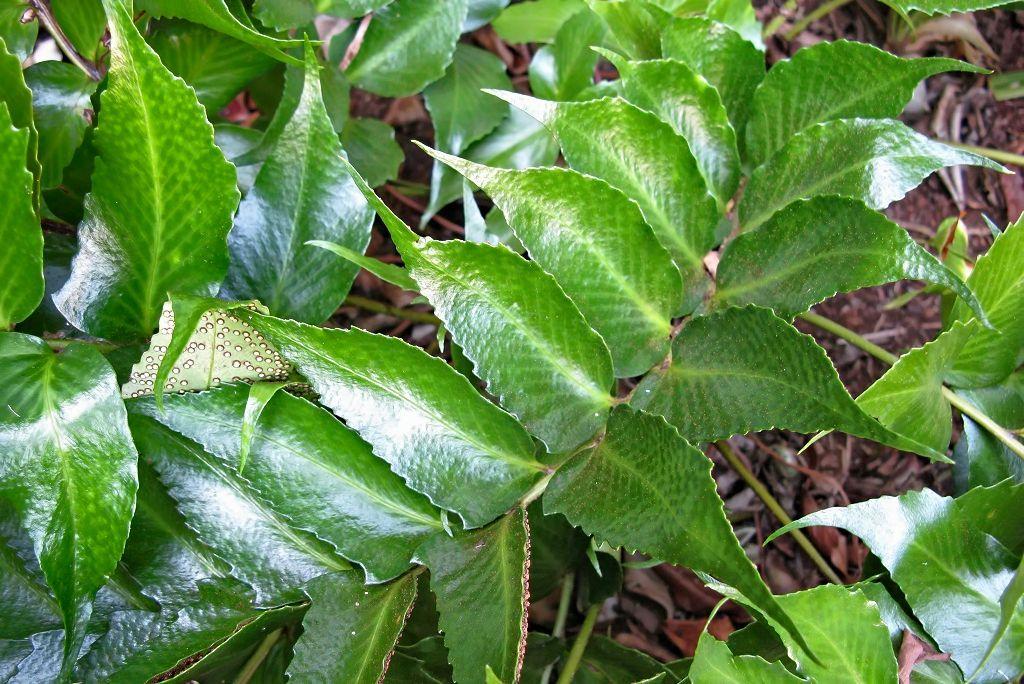 Cyrtomium falcatum-rq-20090820-1p.jpg
